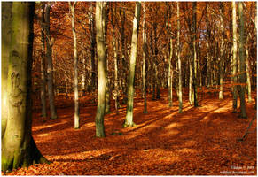 autumnal beeches I by Wilithin