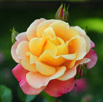 yellow-pink rose by Wilithin