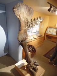 Morrison Museum: Apatosaur leg by Scholarly-Cimmerian