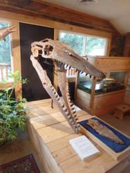Morrison Museum: Tylosaurus skull by Scholarly-Cimmerian