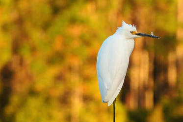 Snowy Egret in Autumn by Fail-Avenger