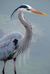 Great Blue Heron by Fail-Avenger