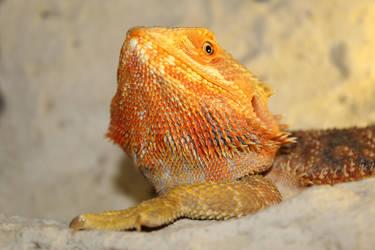 Bearded dragon by HanzeiR