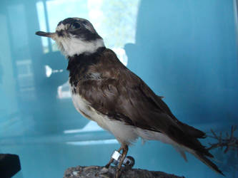 Small ringed plover mount FOR SALE by Lot1rthylacine