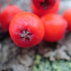 Berry Close-up by Siiw
