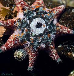 Starfish by suedollin