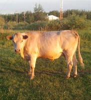 Spirit Cow at Golden Hour by hamishpaulwilson