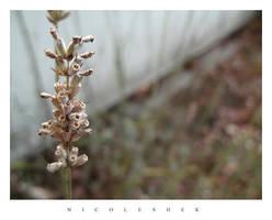 lavender by depairfactor