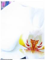 Phalaenopsis series 3 by depairfactor