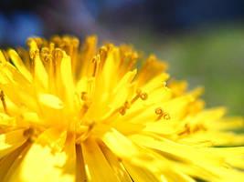 dandelion by depairfactor