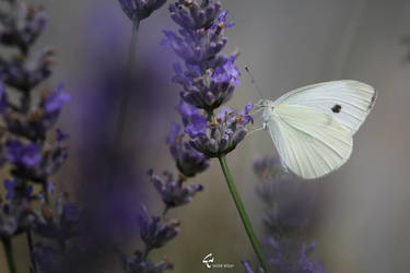 Lavender and Butterfly by myanida