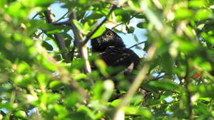 Blackbird by DazGames