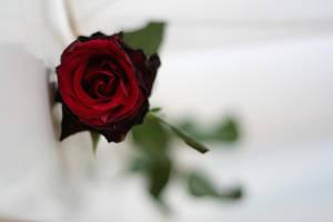Larafairie-stock: Rose II by larafairie-stock