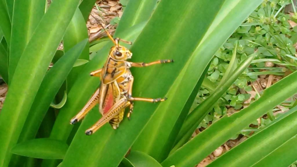 Grasshopper by JAV1966