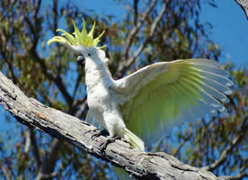 Cockatoo Drying by AfroDitee