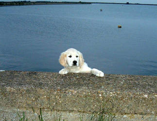 Pup Golden retriever by triggerfish