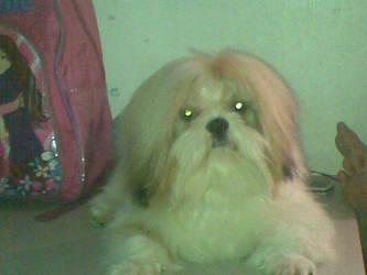 My Shih Tzu dog, Milo by PK-Gaming