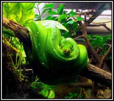 Green Loops (Morelia viridis) by IcySkadi