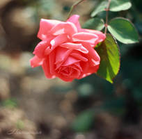 rose by mechtaniya