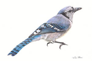 Blue Jay by reesmeister