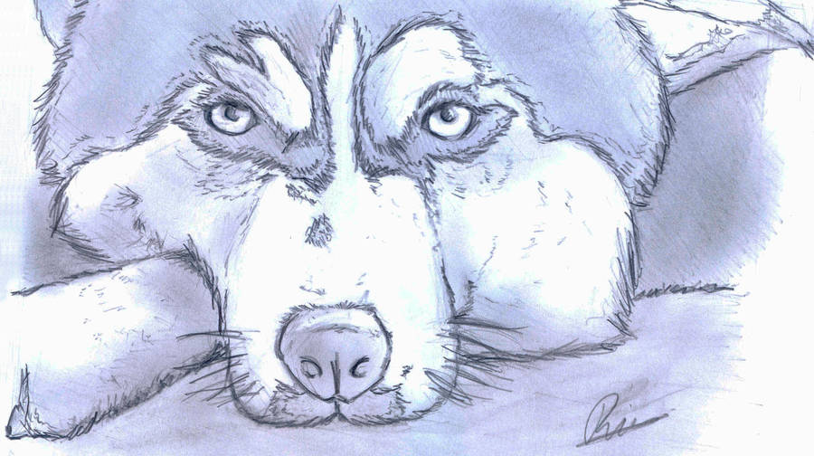 Siberian Husky Sketch By Blastebird On Deviantart