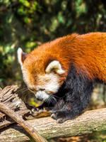 Sleepy Red Panda by ChrisReach