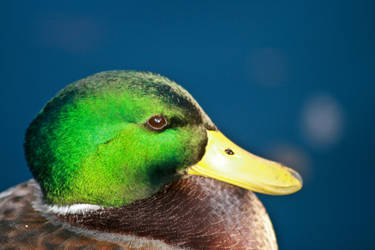 Mallard by the-other1