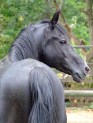 Pasha - black arabian stallion by the-other1
