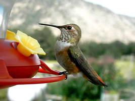 Hummingbirds - Profile by no-limits