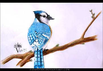 Blue Jay by PandiiVan
