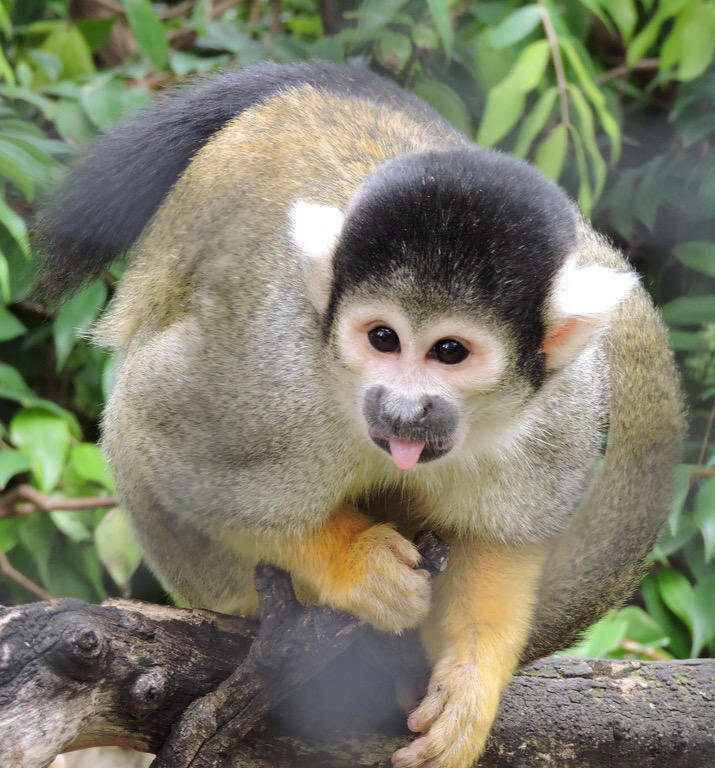 Squirrel Monkey by CloudedHeu