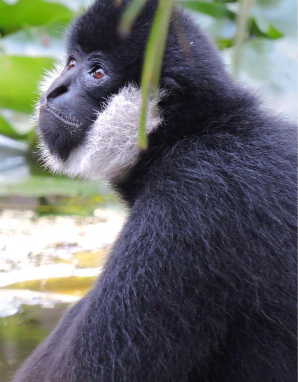 White Cheek Gibbon Portraite by CloudedHeu