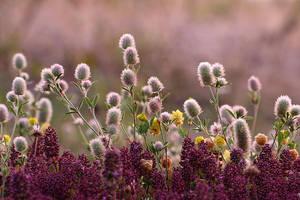 Rabbitfoot clover by nele102
