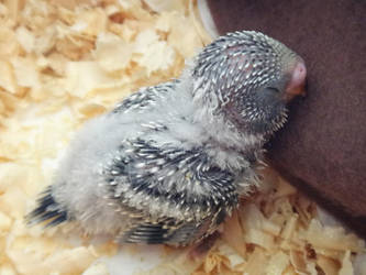 Baby Budgie by Trinamon