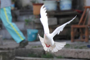 Dove 1.6 by mocking-turtle-stock