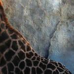 Giraffe II by djailledie