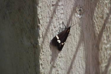 Magpie Moth (NZ) (2) by The-Skipperdogman