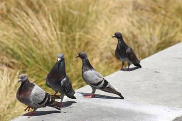 Pigeon gang by The-Skipperdogman