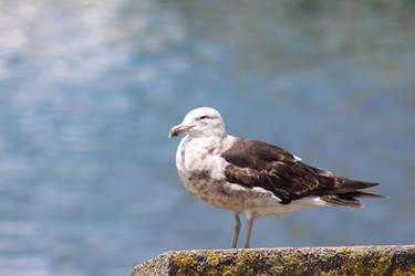 Young Southern Black-backed Gull/Kelp Gull (Karoro by The-Skipperdogman