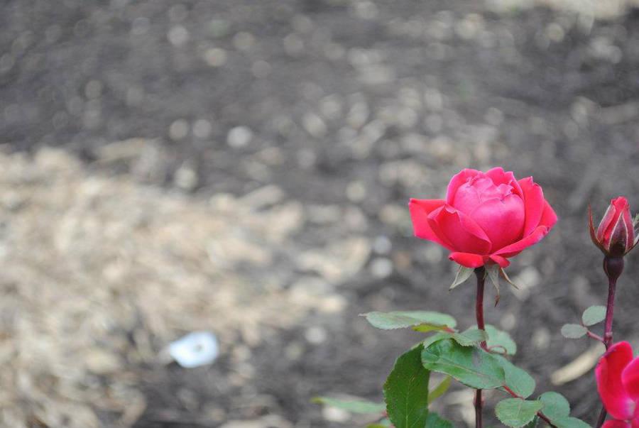 Pink Flower by MatsuKami
