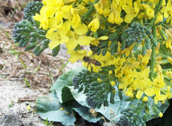 Flowering Broccoli, with Bee by asteidl
