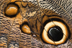 Caligo memnon wing detail by Aphantopus