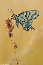 Papilio machaon V by Aphantopus