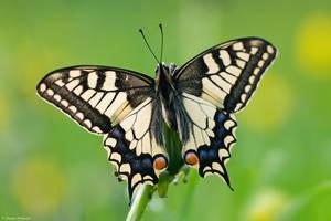 Papilio machaon VI by Aphantopus