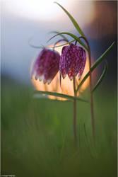 Fritillaria meleagris 2012 by Aphantopus