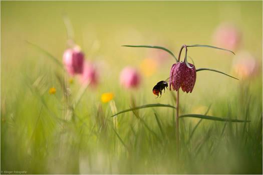 Bumblebee by Aphantopus