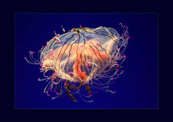 Flower Hat Jellyfish by itscheryl