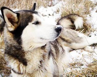 Snow Wolf 004 by Frabulator