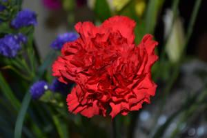 Rose by Jinchuurikiify