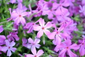 Flower5 by Jinchuurikiify